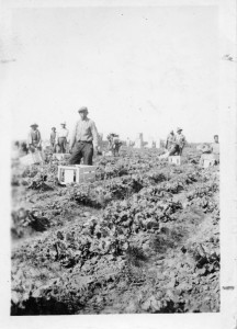 Photograph of Filipino farm workers in the field
