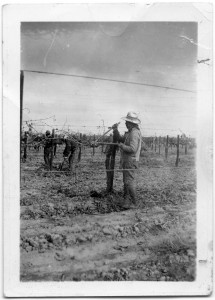 Photograph of Filipino farm workers clipping grape vines