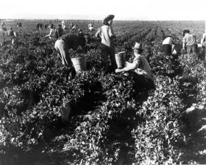 Pea pickers in California