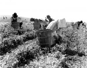Pea pickers (1) near Nipomo, California
