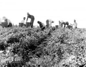 Pea pickers (2), near Nipomo, California